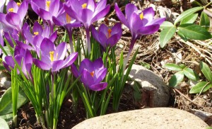 Crocuses Scream Spring!